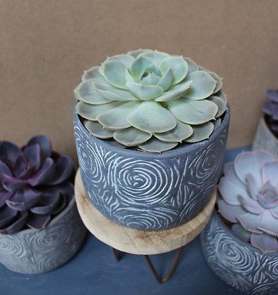 Green Echeveria & Grey Pot