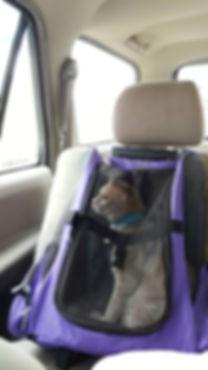 cat secured in purple carrier in a car