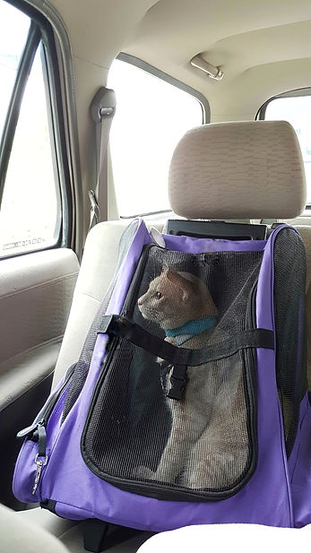 cat secured in purple carrier in a car