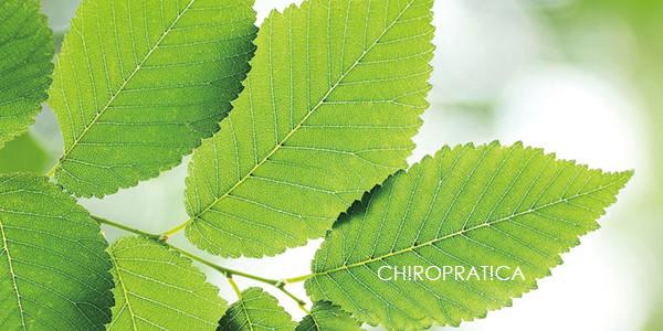 スリッパリーエルムの綺麗な緑色の葉っぱ|副腎疲労HP