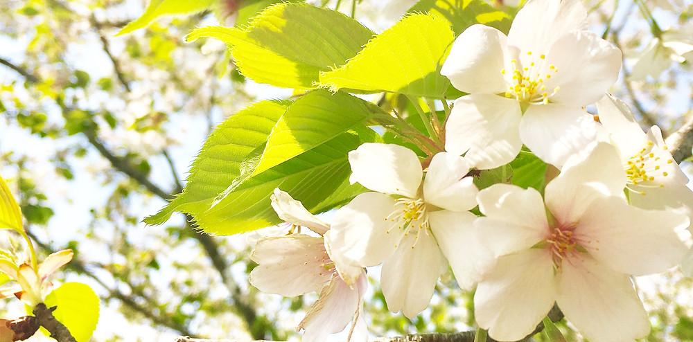 葉桜|副腎疲労HP