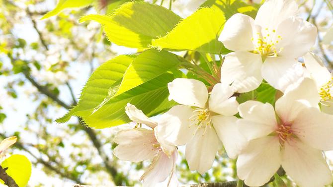 思ったよりも綺麗な「葉桜」