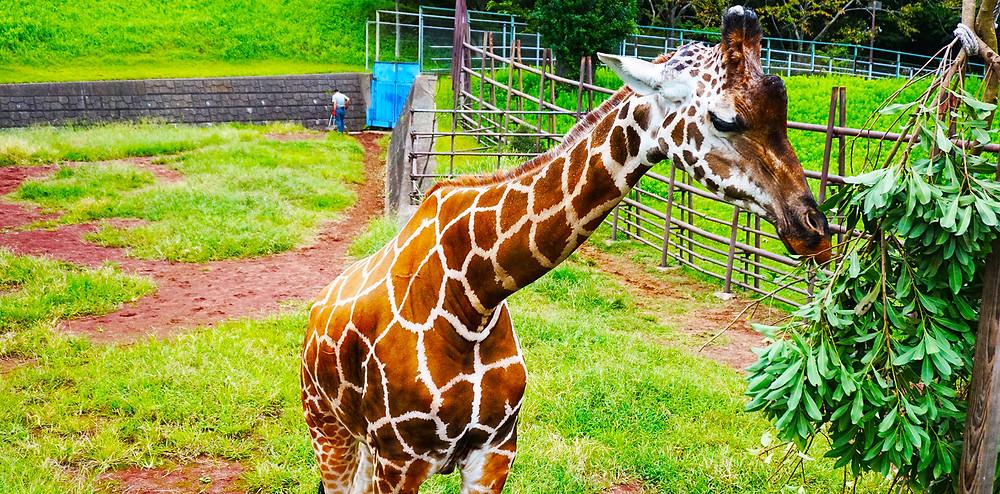動物園のキリン|副腎疲労HP