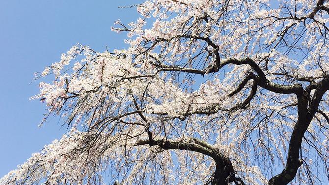 桜満開の軽井沢へ