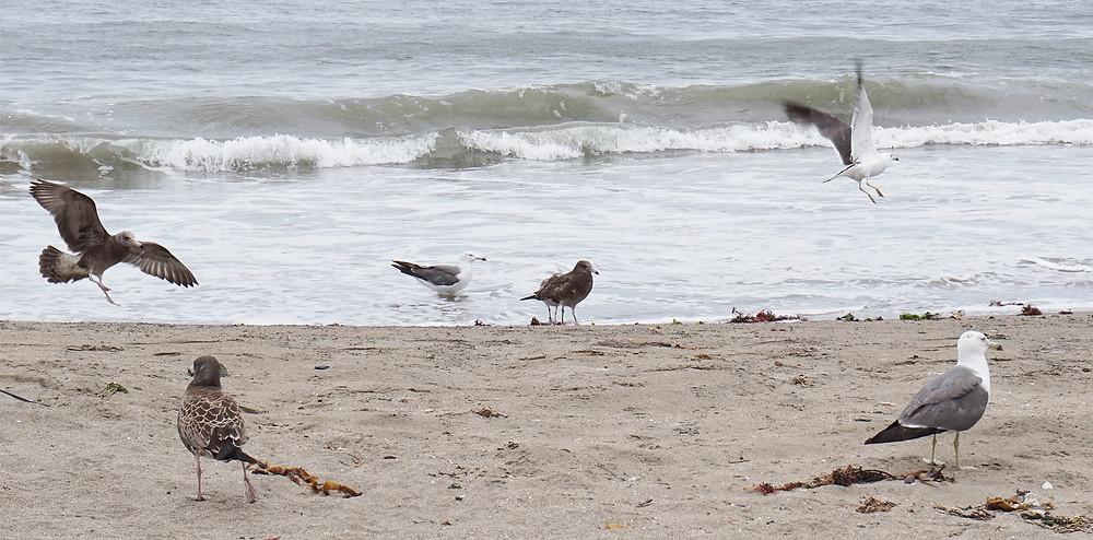 種差海岸のウミネコ|副腎疲労HP