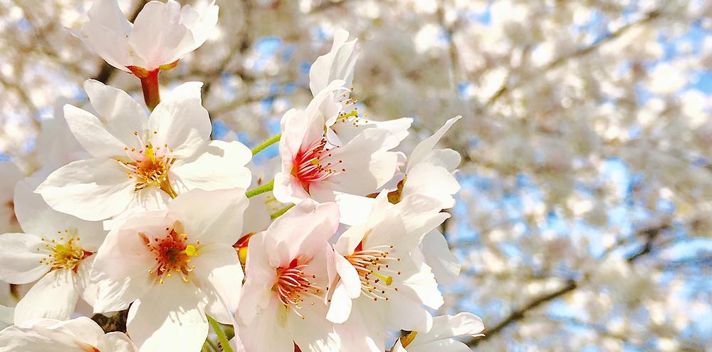 ピンク色が可愛い桜|副腎疲労HP