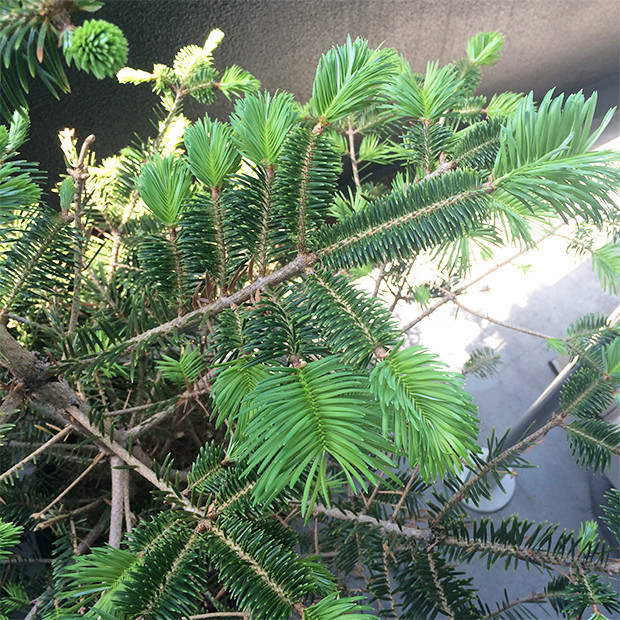 モミの木が成長してきました!