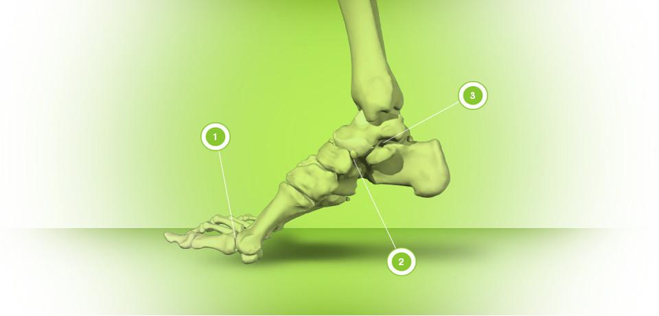足の骨と動きのポイント|副腎疲労HP