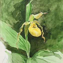 Yellow Lady's Slipper watercolor crop.jp