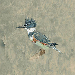 Kingfisher, Study watercolor crop.jpg
