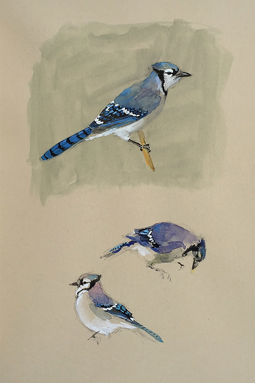 Blue Jay Studies
