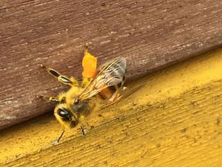 Bienen brüten und tragen Pollen ein