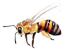 Buckfast Honigbiene Köln