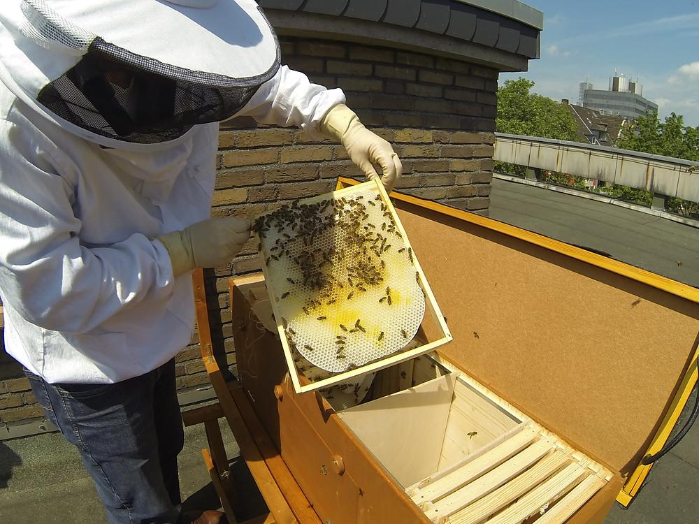 Rähmchen der Bienenbox in der Kölner Imkerei