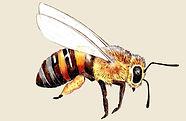Honigbiene Köln