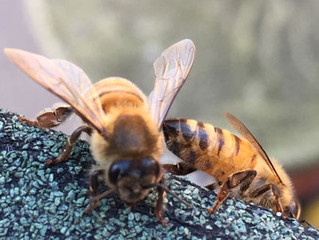 Italienische Biene (Apis mellifera ligustica)