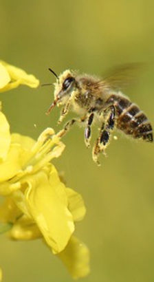 Honigbiene bei der Bestäubung