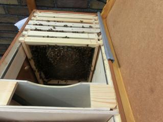 Erste Kontrolle der Bienenbox am Tag 6