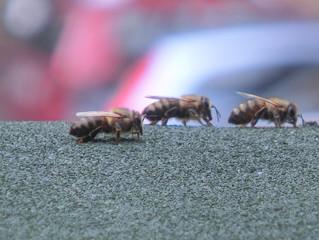 Können Bienen träumen? Bienenbeobachtungen in der Mittagszeit