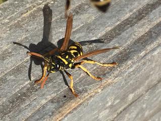 Die erste Honigquelle in der Stadt: Kornelkirsche - auch Wespen sind schon da!