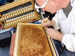 Bukfast Bienen kaufen - die Rheinische Biene