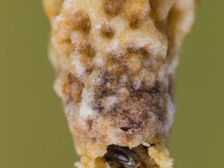 Der Schlupf einer Buckfast-Bienenkönigin