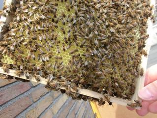 Bienen erkennen sich am Geruch! Riecht die Biene den Imker?
