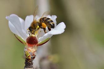 Kölner Biene