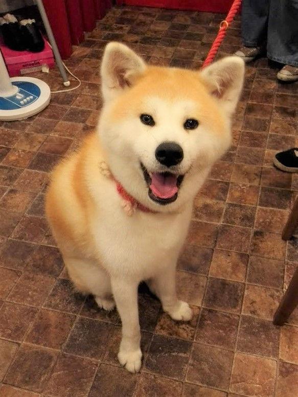 秋田 犬 柴犬