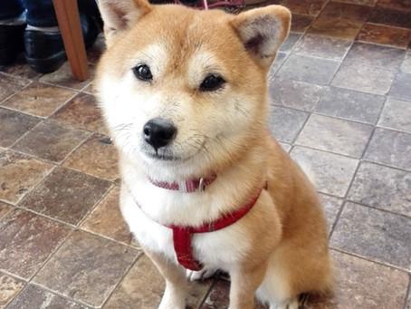 豆柴犬のさくらちゃん