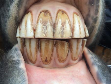 Zahnpflege beim Pferd – ein Erfahrungsbericht