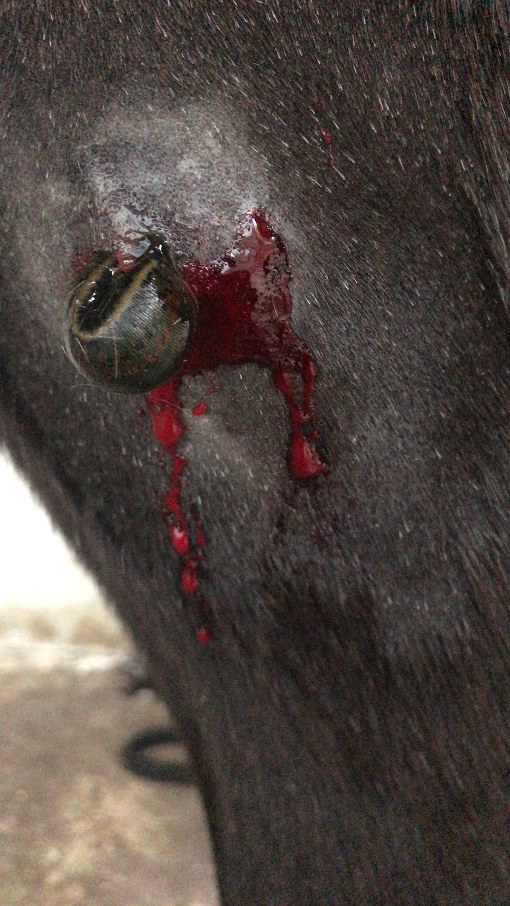 Blutegeltherapie,Tierheilpraxis Lerner - Tiernaturheilkunde & Tierphysiotherapie