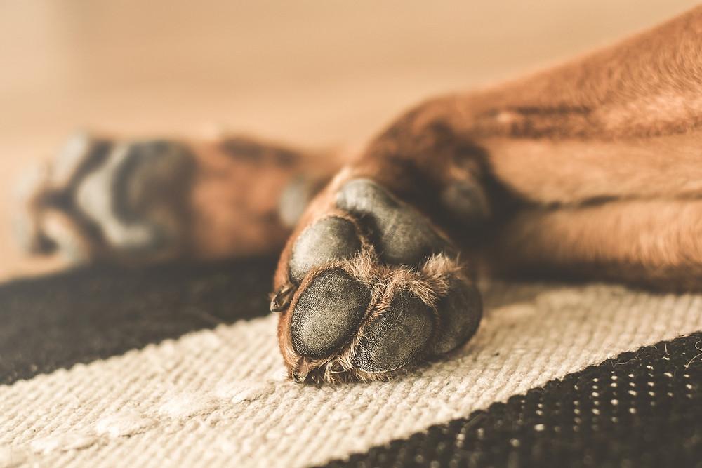Malasseziose beim Hund, Hautpilzerkrankung