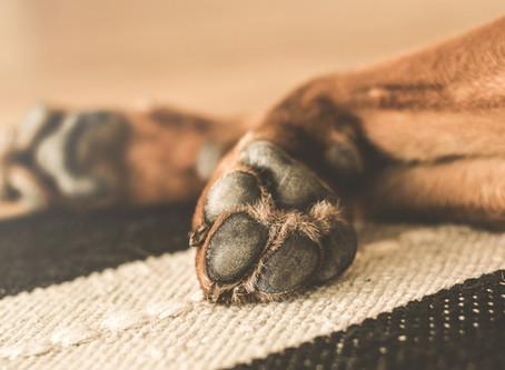 Malasseziose beim Hund