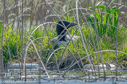 Loon on nest.jpg