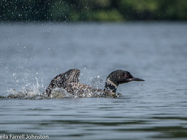#30, Loons also engage in bathing.  During bathing they may submerge themselves and will also splash vigorously, while pausing intermittently to preen or nibble.