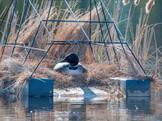 #06, Nesting on a Platform