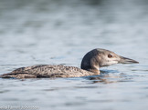 #22, This chick has developed its flight feathers, and was fishing on its own in September.