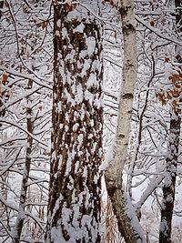 Red Pine & Birch.jpg
