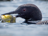 #13,  Loons are fish eaters!