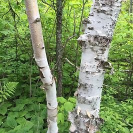 Birch tree 2.JPG