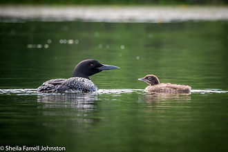 Loon and chick.jpg