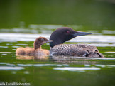 #16, Adult loons have black and white feathers during breeding season, known as alternate plumage.  This chick has lost its sooty black down and has light brown down, which you can expect to see in July.