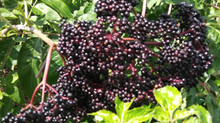 Elderberries and Cancer health Testimonial