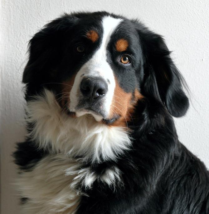 Heute gibt´s Hundekuchen satt! Happy Birthday Frau Lehmann!