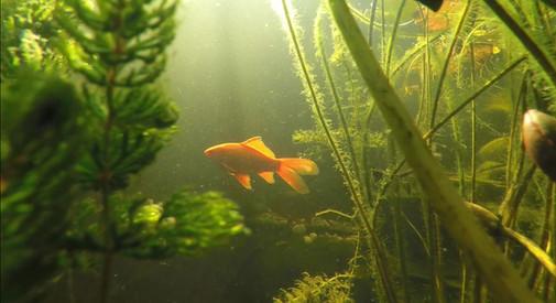 goudvis.jpg