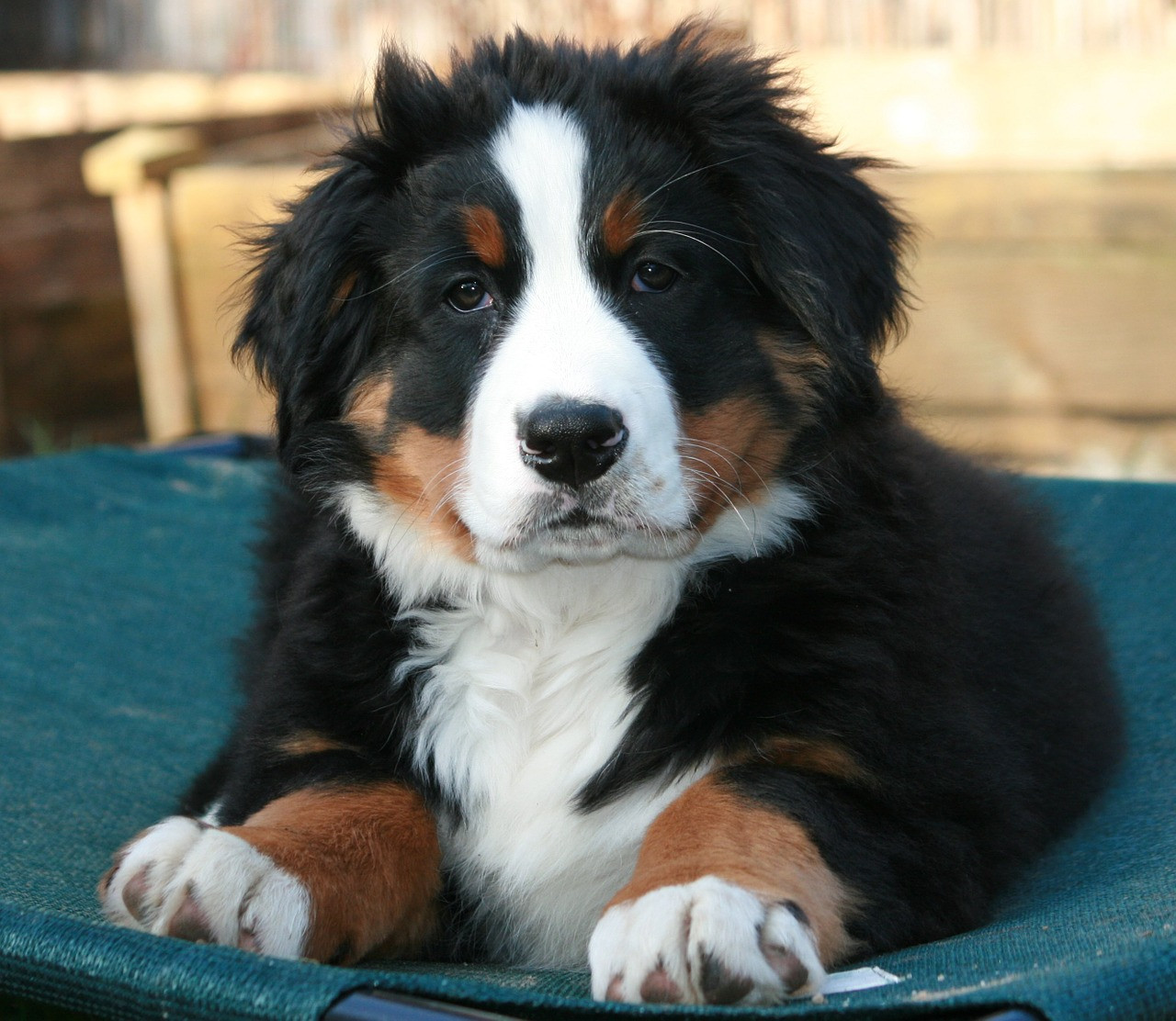 Bernerbabiescom Great Puppies Looking For Great Familes