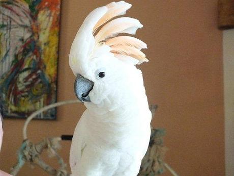 Our-cockatoo1.jpg