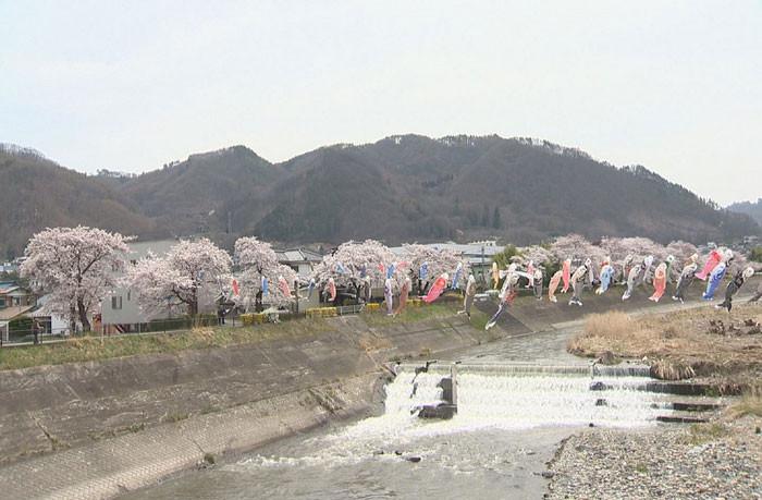依田川丸子橋上流の桜堤防の桜が見ごろ