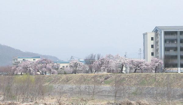 丸子地域の桜の開花状況(4月2日現在)